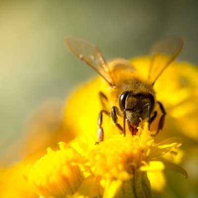 Bier og polllen